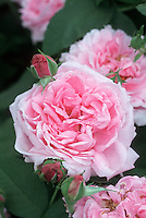 Rosa Madame Knorr aka Comte de Chambord (Portland Rose from 1860) resembles David Austen rose Bishop's Castle
