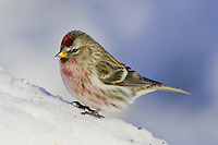 Male Common Redpoll standing on a snow bank