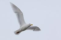 Adult Glaucous Gull (Larus hyperboreus) in breeding plumage in flight. Barrow, Alaska. June.
