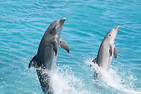 Atlantic Bottlenose Dolphin, Tursiops truncatus, leaps from the ocean off Curacao, Netherlands Antilles, Caribbean.