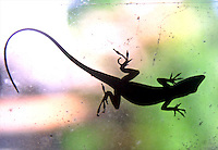 An anole is silhouetted on a window, Daytona Beach, FL . (Photo by Brian Cleary / www.bcpix.com)