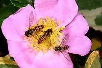 Hain-Schwebfliege, Gemeine Winterschwebfliege, Winter-Schwebfliege, Hainschwebfliege, Wanderschwebfliege, Wander-Schwebfliege, Schwebfliege, Parkschwebfliege, Episyrphus balteatus, Episyrphus balteata, Syrphus balteatus, marmalade hoverfly, Le Syrphe ceinturé, Syrphe à ceinture, Syrphe à ceintures