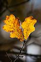 English Oak {Quercus robur} Leaves in Autumn, Derbyshire. November.