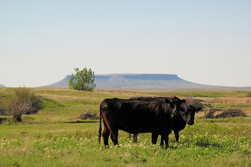 Cows and Square Butte near Cascade, Montana. This butte figures prominently in the work of cowboy artist Charlie Russell, whose work I admire.