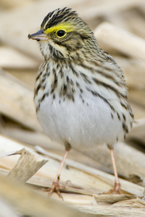 Savannah Sparrow standing on some old reeds