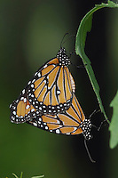 Queen, Danaus gilippus, pair mating, Willacy County, Rio Grande Valley, Texas, USA