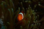 Anemonefish ,Visayas, Philippines 2017