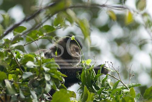 Parana, Brazil. Mata Atlantica forest capuchin monkey picking berries from a tree.