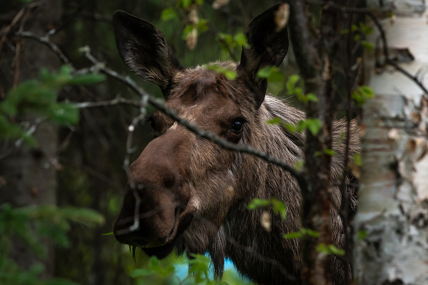 A moose and her calf feed in Chugiak, Alaska.