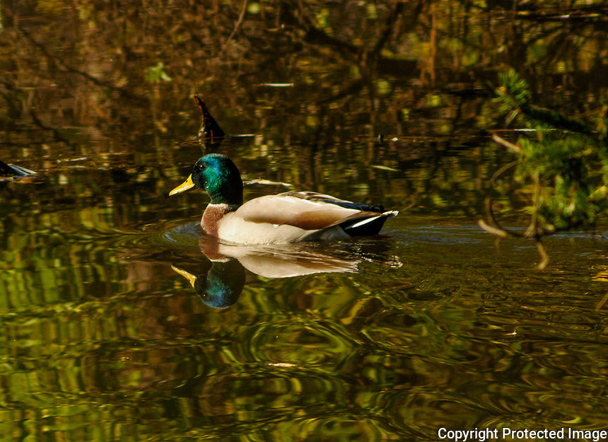 A male mallard duck, anas platyrhynchos, on a pond at the Five Rivers Environmental Center in Delmar, New York USA
