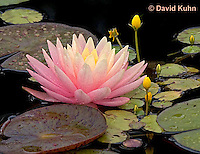 0725-07pp  Full Bloom Water Lilies - Nymphaea © David Kuhn/Dwight Kuhn Photography