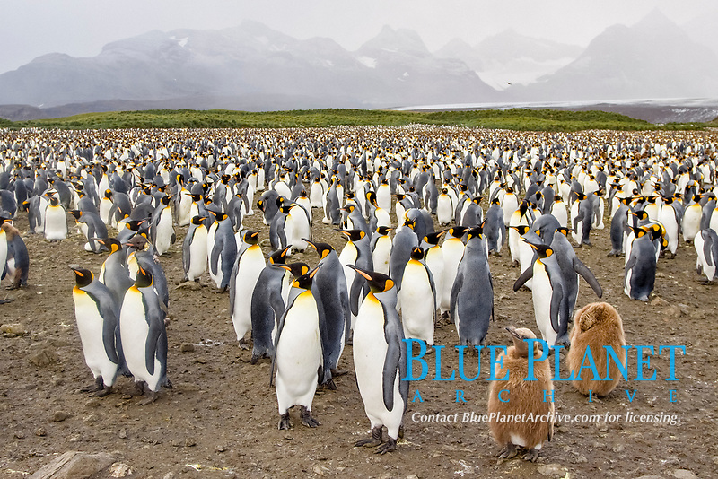 King Penguin (Aptenodytes patagonicus) breeding and nesting colonies on South Georgia Island, Southern Ocean