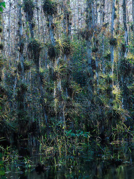 Cypress trees loaded with bromeliads, Big Cypress National Preserve, Florida, December 1998