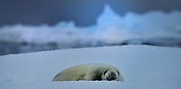 Yalour Islands<br /> Crabeater Seal<br /> <br /> Full Size: 50 MB
