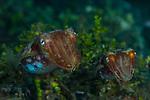 Cuttlefish mating pair, Ambon
