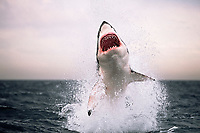 great white shark, Carcharodon carcharias, breaches to seize imitation seal towed as a lure, False Bay, South Africa (2 of 9) (dm)