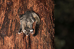 The yellow-bellied glider feeding on sweet Red Mahogany sap. The yellow-bellied glider (Petaurus australis) is an arboreal and nocturnal gliding possum that lives in a narrow range of native eucalypt forests down eastern Australia, reaching from northern Queensland to Victoria. The yellow-bellied glider, also known as the fluffy glider in Far North Queensland. It is the largest of the four Petaurus gliders that occur in Australia. It lives in family groups, is the most vocal, is an extremely accomplished glider and can readily be found at trees which it taps for sap. Studies have confirmed the dependence of the Yellow-bellied Glider in north Queensland on the sugary sap of the Red Stringybark or Red Mahogany (Eucalyptus resinifera) and the den hollows of Rose Gum (Eucalyptus grandis) and that conservation is intimately associated with the management of these two tree species. Two genetically distinct populations are recognised in Queensland, the sub-species Petaurus australis reginae as far north as Mackay and an isolated population in Far North Queensland referred to as Petaurus australis (Wet Tropics, or northern subspecies).