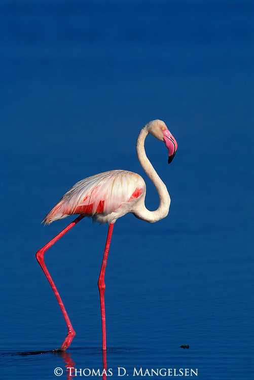 Lesser Flamingo wading in a lake in the Ngorongoro Crater.