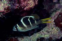 bigeye emperor, Monotaxis grandoculis, Izu ocean park, Sagami bay, Izu peninsula, Shizuoka, Japan, Pacific Ocean