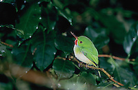 Jamaican Tody, Todus todus,adult, Blue Mountains, Jamaica, January 2005