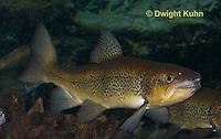 TU02-504z  Atlantic Salmon, Salmo salar