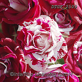 Gisela, FLOWERS, BLUMEN, FLORES, photos+++++,DTGK2509,#f#, EVERYDAY