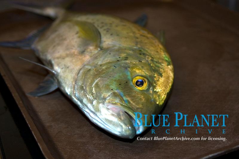 Bluefin trevally, Caranx melampygus, Hawaii Institute of Marine Biology, Kaneohe, Oahu, Hawaii