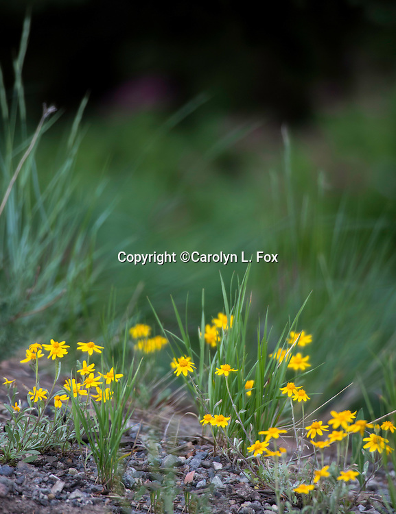Wildflowers bloom in the summer in Yellowstone National Park.