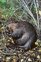 Adult North American beaver (Castor canadensis) on shore has good sense of smell and hearing