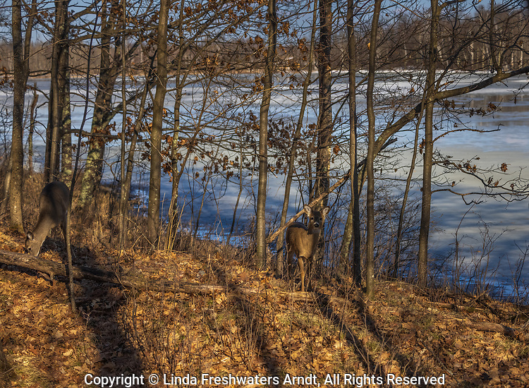 White-tailed doe and fawn in the shadows of a northern Wisconsin woodland.