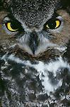 Great horned owl, Washington, USA
