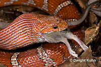 1R22-647z  Corn Snake, Banded Corn Snake, Elaphe guttata guttata or Pantherophis guttata guttata, catching and eating mouse