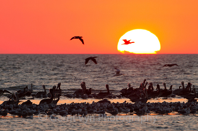 Sunset and roosting birds at Raccoon Island, a barrier island off the Louisana coast. This island is a critical location for nesting and migratoy birds and is rapdily eroding due to a lack of sediment caused by the channelization of the Mississippi River. Isles Dernieres, Terrebonne Parish, Louisiana. October.