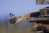 Common Stonechat, Saxicola torquata,male singing, National Park Lake Neusiedl, Burgenland, Austria, Europe