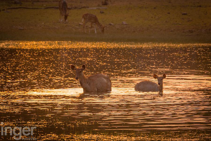 Sambhar Deer swimming in a lake at Tadoba Andhari Tiger Reserve in Maharashtra, India
