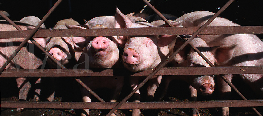 Curious piglets stick their noses through a fence.