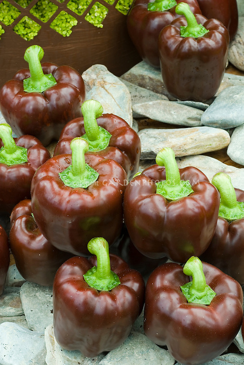 Chocolate colored brown Bell Peppers picked and grouped. Sweet peppers