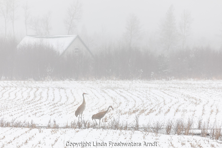 Pair of sandhill cranes feeding in a foggy snow-covered farmer's field.