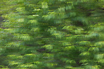 Chokecherry growing in northern Wisconsin (ICM - Intentional Camera Movement).