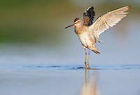 Long-billed Dowitcher (Limnodromus scolopaceus), adult taking off, Dinero, Lake Corpus Christi, South Texas, USA