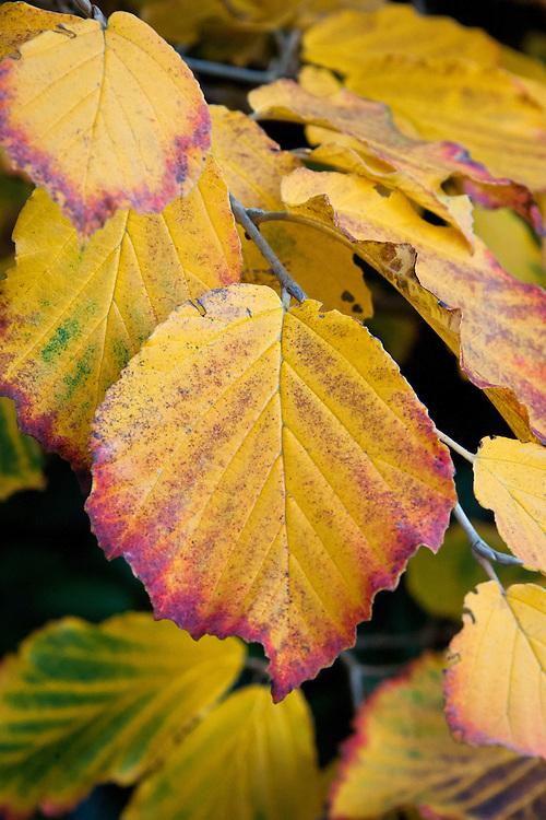 Autumn witch hazel foliage (Hamamelis x intermedia 'Hiltingbury'), early November.
