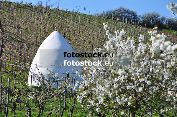 Trullo in einem rheinhessischen Weinberg im Frühjahr mit einem weiß blühenden Kirschbaum