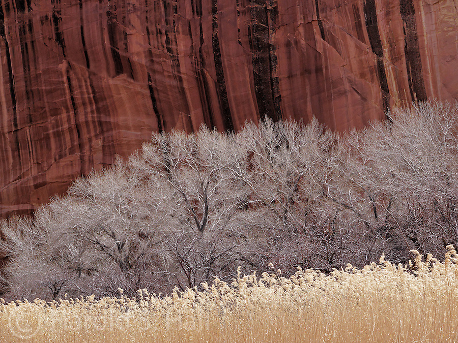 Red cliffs, cottonwood trees and tall grasses make up this scene in Fruita, Utah in Capitol Reef National Park.