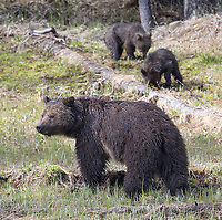 This grizzly family put on a show this spring. Their territory was on the west side of the park, an area I don't frequent much, but I did manage to have one decent photo encounter with them.
