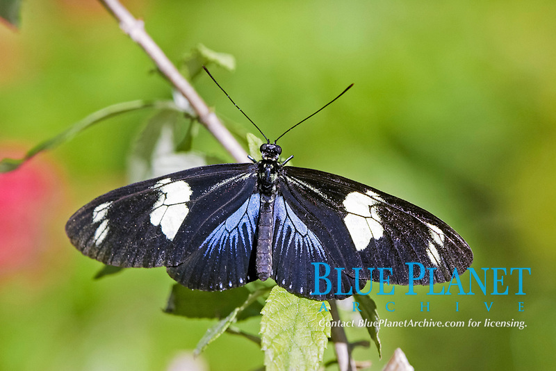 Longwing Sara Butterfly (Heliconius sara), adult resting