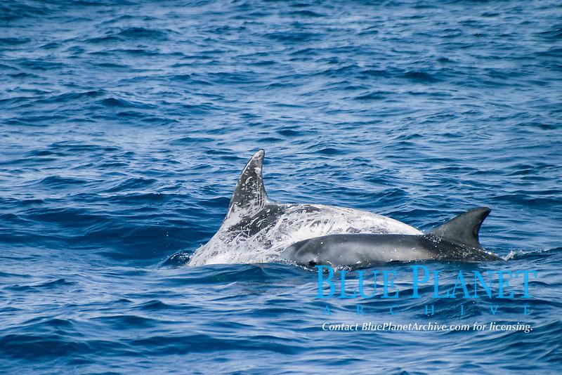 risso dolphin, Grampus griseus, Azores Island, mother and calf, Portugal, North Atlantic