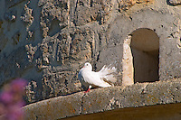 A white dove standing on a ledge of an old stone dovecote dove house  - Chateau Carignan, Premieres Cotes de Bordeaux