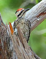 Ladder-backed woodpecker adult male