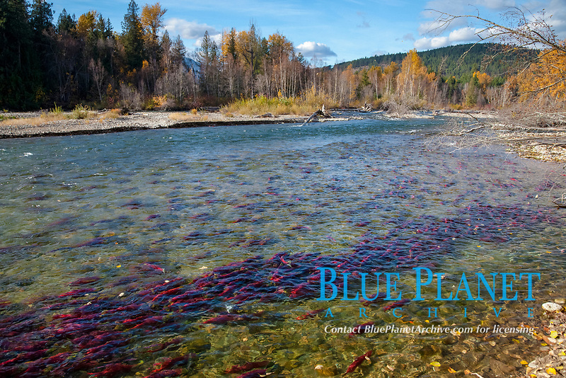 Sockeye salmon, swim upstream in the Adams River, traveling to reach the place where they hatched four years earlier in order to spawn a new generation of salmon eggs, Roderick Haig-Brown Provincial Park, British Columbia, Canada