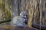 Pictured:  The leopard cub on the floor of the bathroom after mom stashed it there, Tubu Tree Camp, Jao Reserve, Botswana<br /> <br /> A protective leopard hides her young cub in a lodge before going off to hunt.  The mother keeps her offspring safe from predators by leaving the cub in the camp shelter.<br /> <br /> She tucks the two week old cub in a den-like spot behind the sink before scouring the area for food.  Photographer Suzi Eszterhas spotted the small leopard on the bathroom floor of the lodge in Jao Reserve, Botswana.  SEE OUR COPY FOR DETAILS.<br /> <br /> Please byline: Suzi Eszterhas/Minden Pictures/Solent News<br /> <br /> © Suzi Eszterhas/Minden Pictures/Solent News & Photo Agency<br /> UK +44 (0) 2380 458800